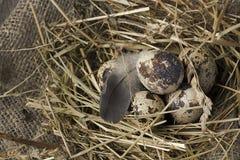 在巢的鹌鹑蛋在土气木背景 健康概念的食物 图库摄影