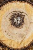 在巢的鹌鹑蛋 免版税库存照片