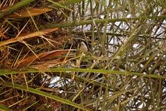 在巢的鹦鹉在棕榈树中 免版税库存照片