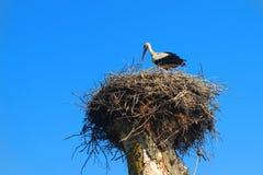 在巢的鹳在夏天 免版税库存图片