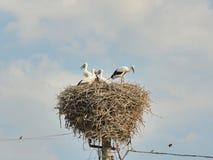 在巢的鹳小鸡 免版税库存图片