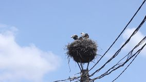 在巢的鹳小鸡 库存照片