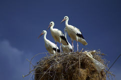 在巢的鹳 免版税库存照片