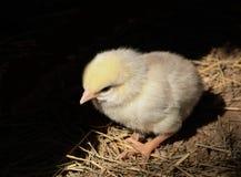 在巢的黄色婴孩鸡 免版税图库摄影