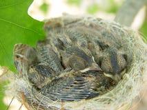 在巢的婴孩雄伟神仙的鹪鹩 图库摄影