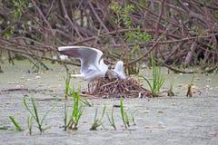在巢的黑带头的鸥 库存照片