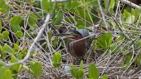 在巢的绿色苍鹭用鸡蛋, J n 丁亲爱的国民 库存图片
