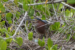 在巢的绿色苍鹭用鸡蛋, J n 丁亲爱的国民 库存照片