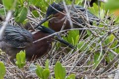 在巢的绿色苍鹭用鸡蛋, J n 丁亲爱的Nationa 免版税库存图片