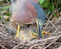 在巢的绿色苍鹭 免版税库存图片