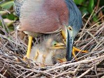 在巢的绿色苍鹭 库存图片