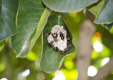在巢的黄蜂在树叶子 库存图片