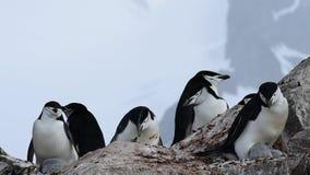 在巢的Chinstrap企鹅 股票录像