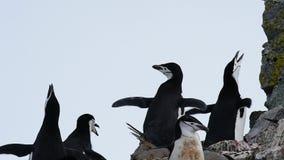 在巢的Chinstrap企鹅 股票视频