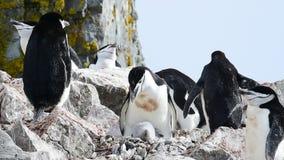 在巢的Chinstrap企鹅 影视素材
