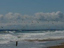 在巢站点的北极燕鸥苏格兰的东海岸的 库存图片
