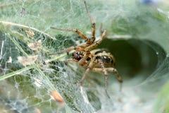 在巢等待的牺牲者的蜘蛛 免版税库存照片
