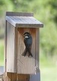 在巢箱的树燕子 免版税库存图片