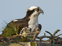 在巢箱的白鹭的羽毛 库存图片