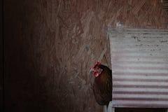 在巢箱的鸡 库存图片
