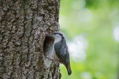 在巢附近的五子雀在木凹陷 在绿色背景的森林鸟 免版税库存图片
