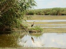 在巢附近的苍鹭 库存图片