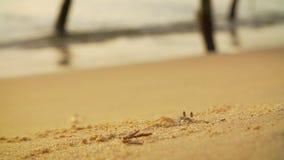 在工作开掘在一个沙滩的螃蟹 股票录像