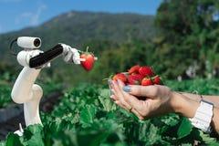 在工作的农业未来派机器人自动化的聪明的机器人农夫草莓 图库摄影