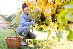 在工作采摘葡萄的葡萄捡取器 库存图片