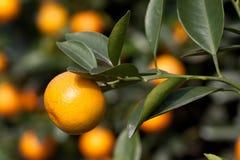 在工厂,橙树的新鲜的桔子 库存图片