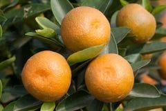 在工厂,橙树的新鲜的桔子 免版税图库摄影