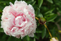 在左边开放的浅粉红色的牡丹花 图库摄影