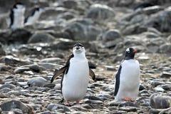 在左边的一只Chinstrap企鹅和在右边,南极半岛的一只Gentoo企鹅 免版税库存图片