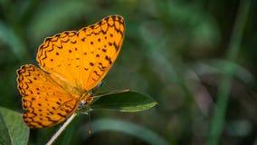在左边的共同的豹子蝴蝶 免版税库存照片