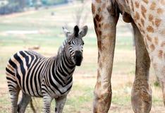 在巨人长颈鹿之中与斑马 库存图片