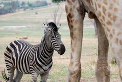 在巨人长颈鹿斑马之中 免版税图库摄影