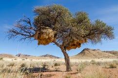 在巨型织布工鸟巢盖的非洲金合欢树,纳米比亚,南部非洲 库存图片