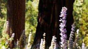 在巨型美国加州红杉树中的羽扇豆 影视素材