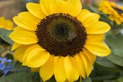 在巨大形式和黄色的向日葵 一只小的蜂 库存照片