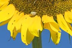 在巨大的向日葵的盾臭虫 免版税库存照片