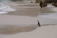 在巨石城海滩,南非的非洲企鹅 免版税库存图片