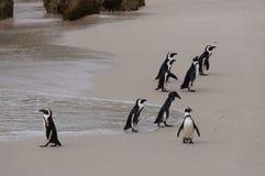 在巨石城海滩,南非的非洲企鹅 库存照片