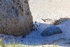 在巨石城海滩, Simons镇的企鹅 免版税图库摄影