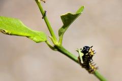 在已经被吃的植物的毛虫 库存照片