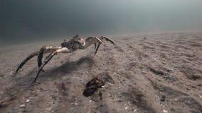 在巴伦支海一个离开的含沙底部的仅巨型螃蟹步行  股票录像