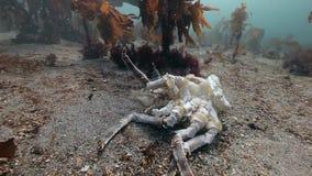 在巴伦支海一个离开的含沙底部的死的螃蟹  股票录像