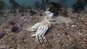 在巴伦支海一个离开的含沙底部的死的螃蟹  影视素材
