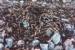 在巴伦支海的海岸, Varanger半岛,芬马克郡,挪威的干燥海藻 库存照片