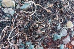在巴伦支海,芬马克郡,挪威的海岸的干燥海藻 库存图片
