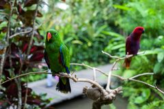 在巴厘岛动物园的一只绿色鹦鹉 免版税库存图片